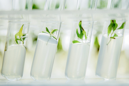 Nahaufnahme auf microplants Pappel geklont in vitro in einem Nährmedium Standard-Bild - 69571040