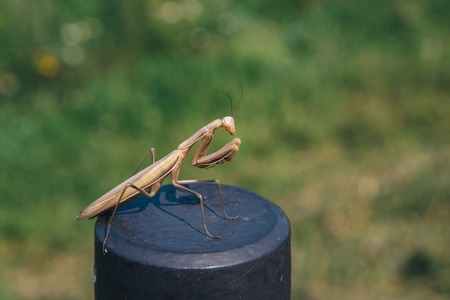 Brown Praying Mantis sitting on a fence on a background of green