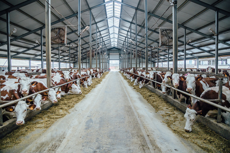 Breeding of cows in free livestock stall Stockfoto