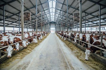 Zucht von Kühen im freien Viehbestand Standard-Bild