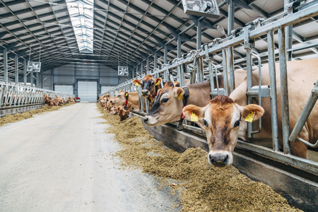 Jersey dairy cows in a free livestock stall