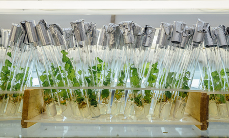 Microplants of cloned Karelian birch in test tubes with nutrient medium. Micropropagation technology in vitro Stock Photo