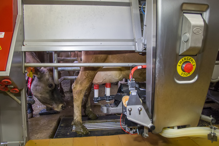 Milking the cows with a fully automated milking robot.
