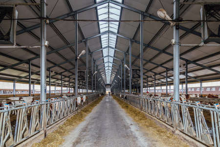 Modern barn for breeding of cows in free livestock stall.