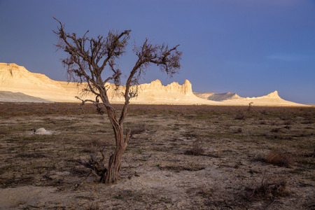 Droge saxaul in de woestijn op achtergrond van piekende witte rotsen, Boszhira-canion, plateau Ustyurt, Kazachstan