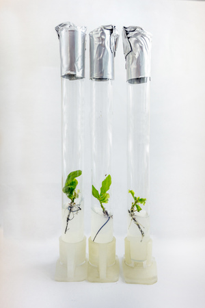 Microplants of cloned oak (Quercus Robur L) in test tubes with nutrient medium using micropropagation technology in vitro Stock Photo