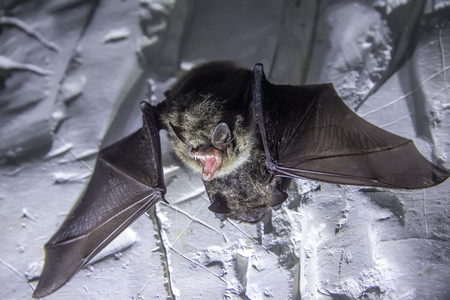 Angry pair of bats disturbed during hibernation. Foto de archivo