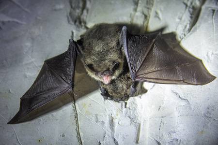 Angry pair of bats disturbed during hibernation. 免版税图像
