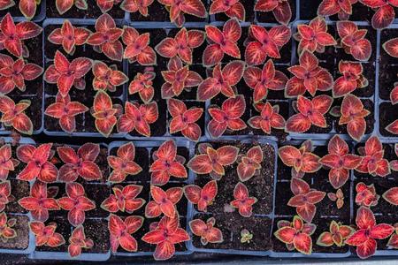 Plants of Coleus Blumei in plastic pots, top view Reklamní fotografie