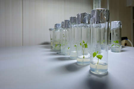 Micro plants in test tube. In vitro cloning technology