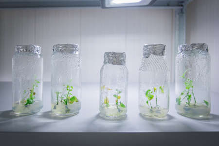 Micro plants in test tube. In vitro cloning technology Archivio Fotografico - 152728644
