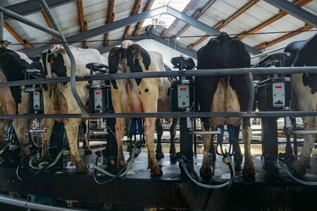 Milking cows by automatic industrial milking rotary system in modern diary farm. 写真素材 - 127539952
