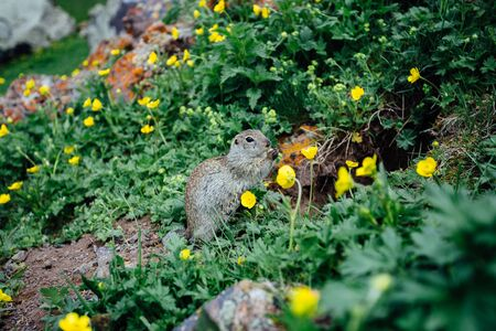 Gopher eating cookie in grass and yellow flowers.