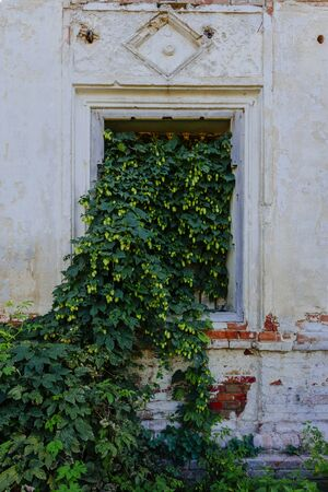 Old window of abandoned building overgrown by hop