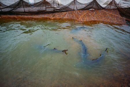 Live sturgeons in the cage in fish breeding farm.