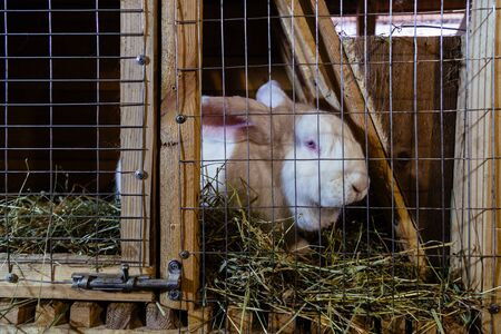 White rabbit in a cage at the farm.