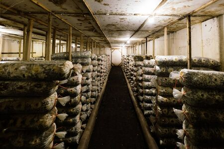 Mushroom farm. Bags with oil cake substrate for growing mushrooms. Zdjęcie Seryjne
