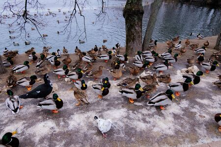 Many ducks in the city park in winter.