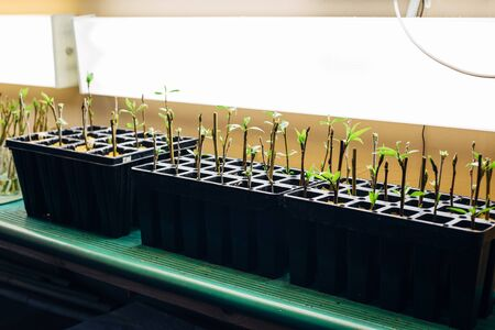 Poplar seedlings in artificial light conditions, rooted cuttings in multi-cell growing trays.
