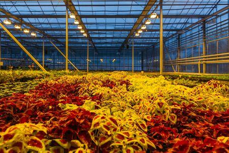 Bunte Coleus-Pflanzen, die abends im modernen Gewächshaus wachsen.