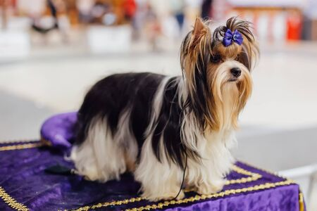 Sitting Biewer Yorkshire terrier with blue bow.