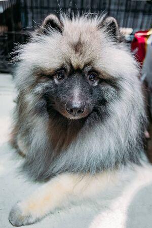 Dog Keeshond or Wolfspitz, close up portrait. Stockfoto