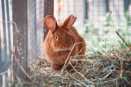 Brown rabbit in wooden cage at the farm, close up