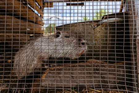 Gray nutria (Myocastor coypus) in the cage at the farm.