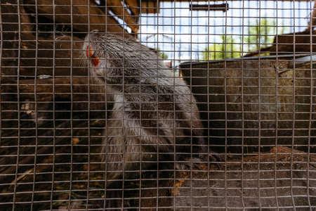 Gray nutria (Myocastor coypus) in the cage at the farm.