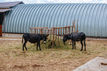 Donkeys are eating hay at the farm