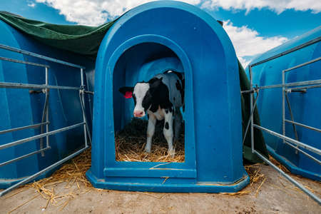 Young Holstein calf in blue calf-house at the diary farm. Archivio Fotografico