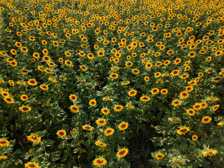 Field of sunflowers at summer day, aerial view.