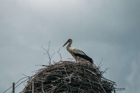 White stork in the nest made from twigs. Archivio Fotografico