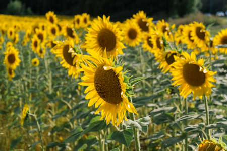 Field of sunflowers at summer day. Archivio Fotografico