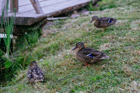 Ducks family in the grass