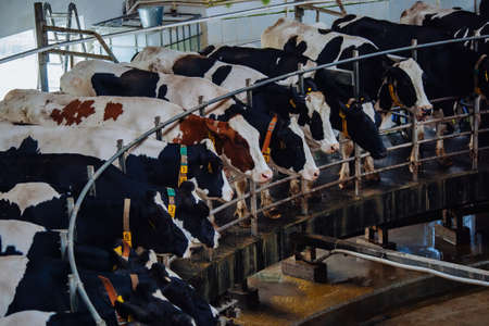 Milking cows by automatic industrial milking rotary system in modern diary farm Banque d'images