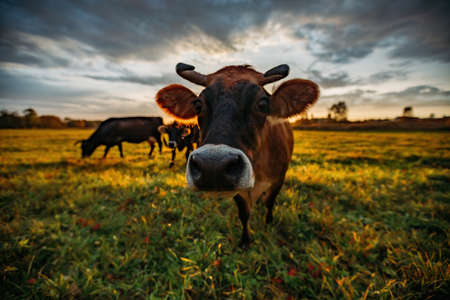 Cows on green meadow. Cow muzzle, close up, selective focus.
