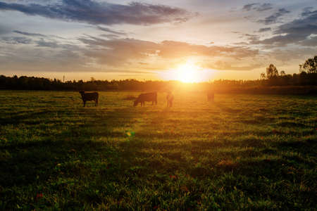 Diary cows grazing on idyllic valley at sunset. Banco de Imagens