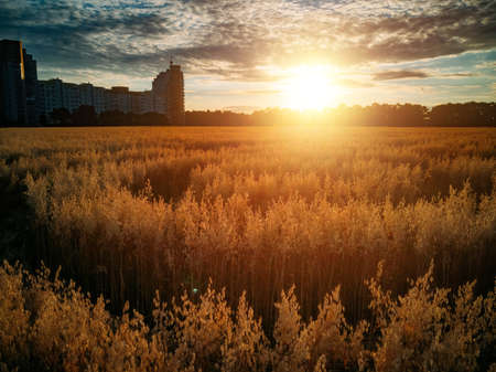 Mysterious crop circle in oat field near the city at the evening sunset. Zdjęcie Seryjne