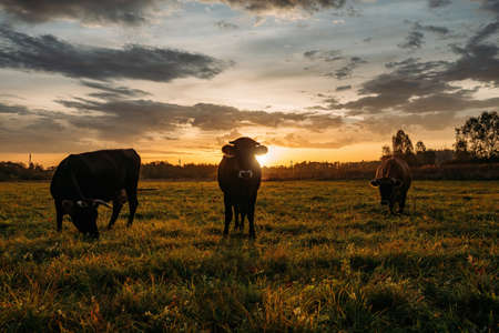 Diary cows grazing on idyllic valley at sunset. 免版税图像