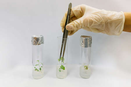 Graftage of micro plants in laboratory of biotechnology for in vitro cultivating in test tube.