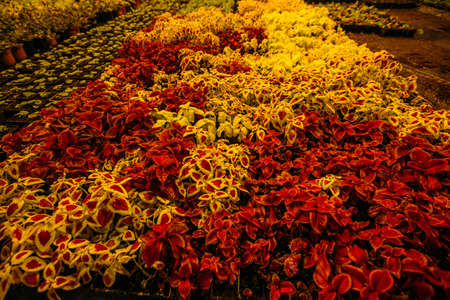Colorful coleus plants growing in modern greenhouse in the evening at artificial light conditions. Stok Fotoğraf