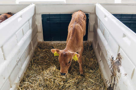 Young calf Jersey breed in a stall for calves with straw