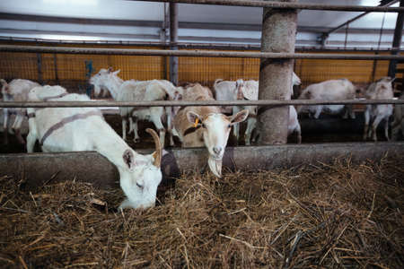 Domestic white goats in the dairy farm.
