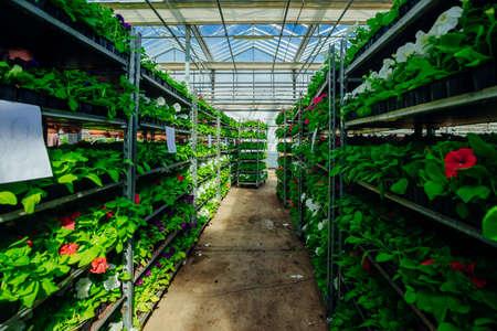 Growing of flower seedlings on shelves in greenhouse.