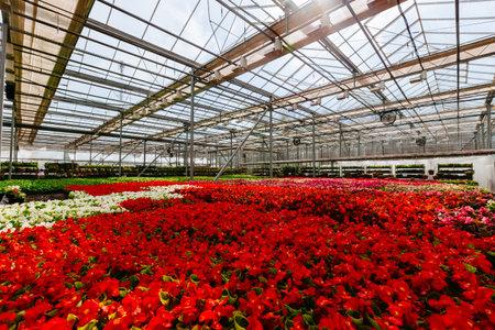 Growing red begonia flower seedlings in modern hydroponic greenhouse. 免版税图像