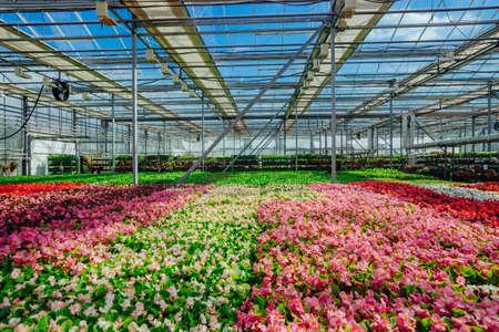 Growing multicolored begonia flower seedlings in modern hydroponic greenhouse.
