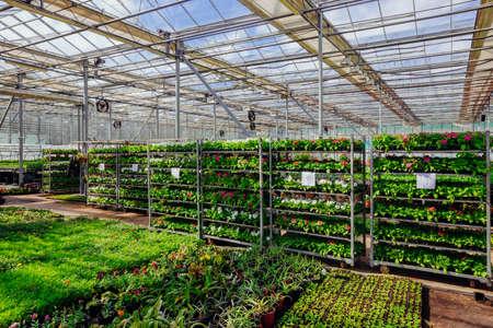 Growing of flower seedlings on shelves in greenhouse Archivio Fotografico