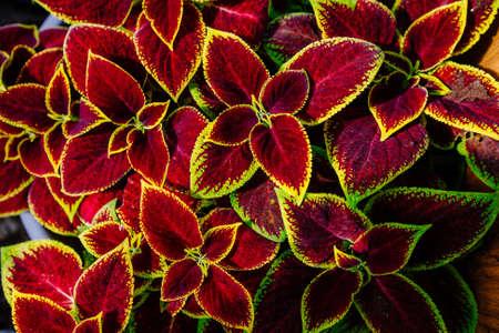 Plants of Coleus Blumei, top view, floral pattern.