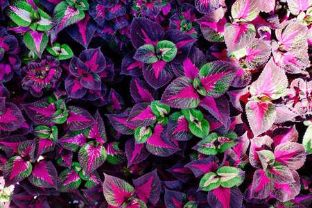 Multicolored plants of Coleus Blumei, top view, floral pattern.
